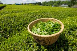 طرح تولید چای صنعتی